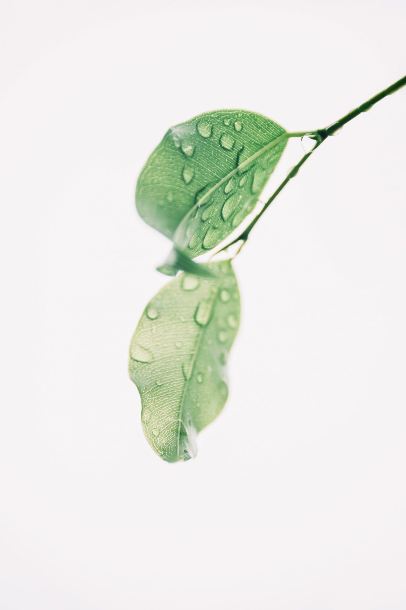 zroszony liść